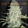 Female WW x Big Bud Female 10 Marijuana Seeds